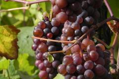 Det som det hele handler om, vinmarker og vindruer i Alsace, Frankrig