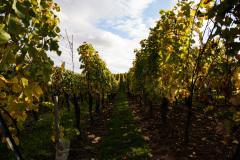 Yeah, mere af det vigtige, vindruer som senere skal blive til lækker Alsacehvidvin.