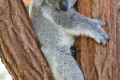 Australia Zoo, Queensland, Australien. Er Koalaer verdens nuserste dyr?