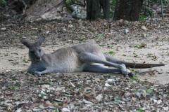 Australia Zoo, Queensland, Australien. Mulighed for at komme tæt på en Wallaby, de kære små kænguruer