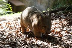 Australia Zoo, Queensland, Australien. Og Wombatter, endnu en bedårende skabning