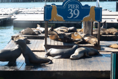 Søløver ved Pier 39, San Francisco, USA