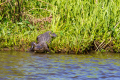 Alligatortur med Airboat Adventures, New Orleans, Louisiana, USA